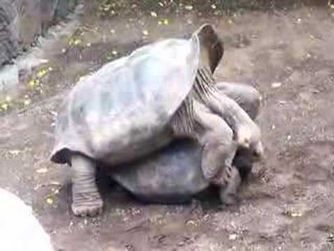 Mating Turtles In Galapagos Youtube