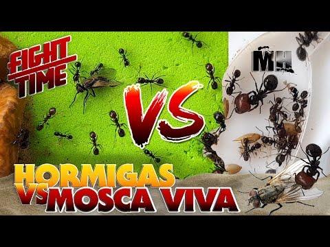 HORMIGAS VS MOSCA VIVA | Hormigas Messor Barbarus