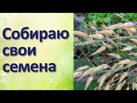 Как собрать свои семена Рукола и редис