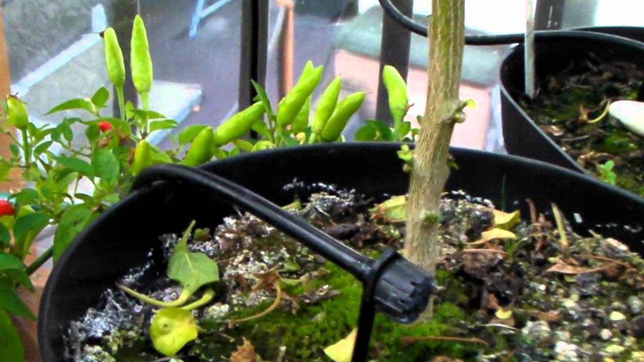 Mini Chilli greenhouse and watering (irrigation) system ...