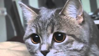Британская кошка с красивыми глазами / British cat with beautiful eyes