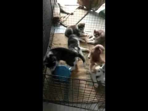 ขายลูกสุนัขไซบีเรียน ราคา 8000 น้องหมาอยู่ศรีราชา ชลบุรี นัดรับได้ (มีรูปพ่อและแม่พันธ์ค่ะ)