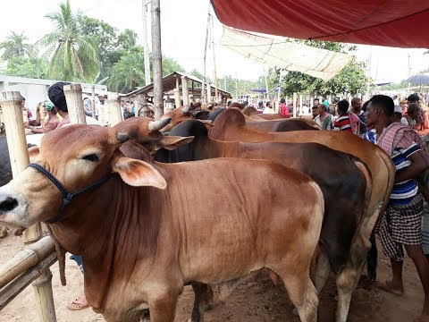 Cow market in Bangladesh at low price / BD Life Trailer