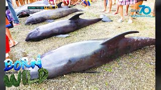Born to be Wild: Dolphin stranding in Catanduanes