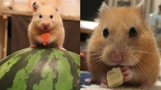 СМЕШНЫЕ ВИДЕО ПРО ЖИВОТНЫХ (СМЕШНАЯ ОЗВУЧКА) Hamsters like #328 funny video about animals