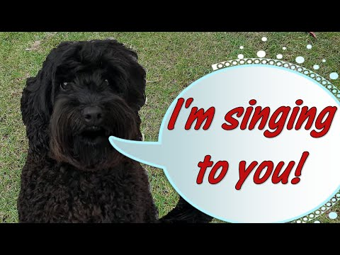 Our Australian Labradoodle Sings About Coronavirus (How Bizarre)