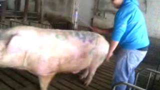 Guy rides male pig the last 30 sec is very FUNNY!!