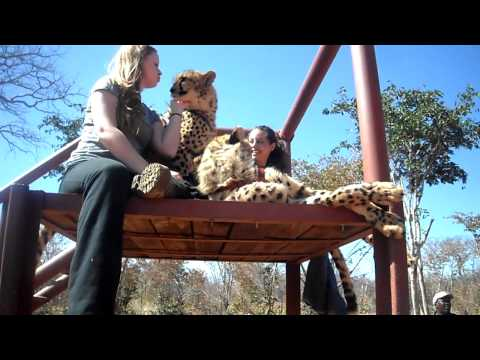 South Africa- Petting Cheetahs