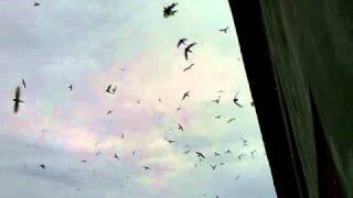 suara burung walet