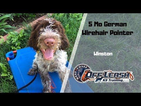 GERMAN WIREHAIR  POINTER/ DOG TRAINING