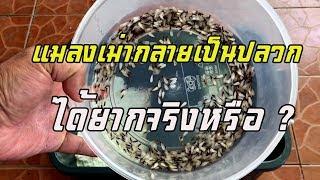 แมลงเม่าเป็นปลวกได้อย่างไร ( เลี้ยงแมลงเม่าของจริงจนกลายเป็นปลวก )