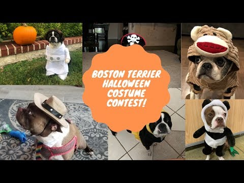 What Halloween Costume Is Your Favorite? Boston Terrier Costumes