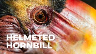 Helmeted Hornbill 1
