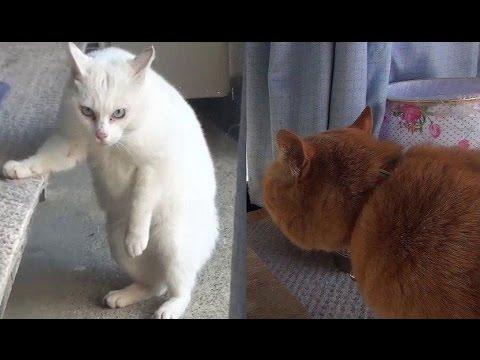 【実録 猫の喧嘩!歌舞伎役者のような声で威嚇する猫】Cat Fight