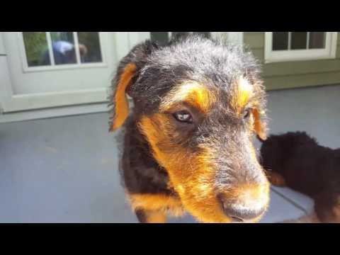 airedale-terrier-puppies-sale-video---s-&-s-family-airedales---mostly-older-mr.-blue