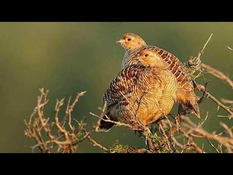 Teetar ka shikar -black francolin hunting