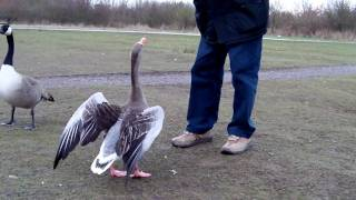 My dad feeding a Greylag Goose. Filmed with Toshiba Camelio H20 at HD 720