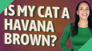 Is my cat a Havana Brown?