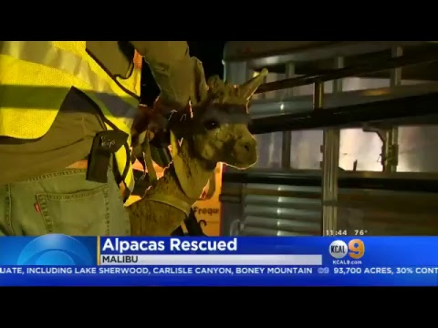 Wake Up Call - Horse Gives Birth During Wildfire Evacuation, Rescuers Name Him 'Spark'