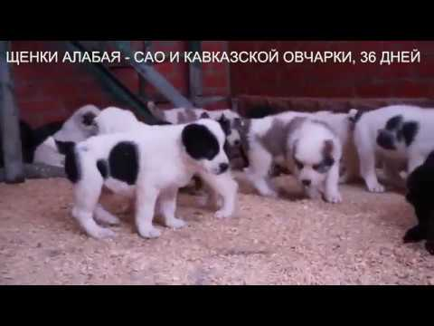 Щенки кавказской овчарки и алабая, среднеазиатской овчарки www.r-risk.ru +7 9262205603 Татьяна