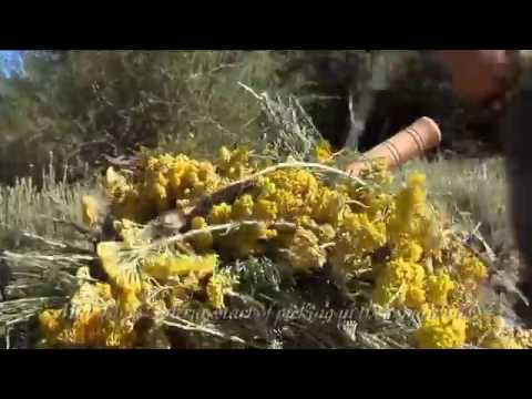 HElichrysum .THe perfect way to grow it and the oil destilacion