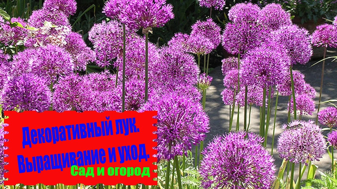 18 июл 2017. Allium gladiator.