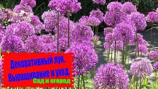 видео Аллиум: выращивание и размножение декоративных и съедобных видов лука