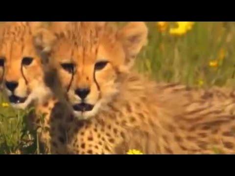 Cheetah The Fastest Running