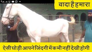 Sher-e-punjab Stud farm - ऐसी नुकरी घोडी आपने पहले कभी नहीं देखी होगी यह वादा है हमारा Mare Money