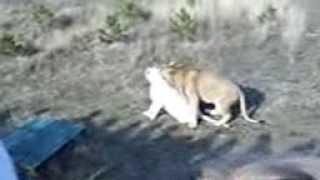 Лев и белая львица. Попытки спаривания. Крымский парк львов Тайган