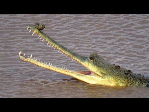 Last Chance for Gharial  - Gharial Ecology Project, Chambal