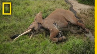 One of the Last Big Tusker Elephants Was Killed by Poachers | National Geographic