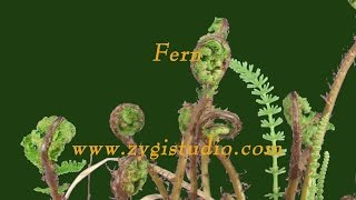 Fern plant unrolling new fronds (with ALPHA).
