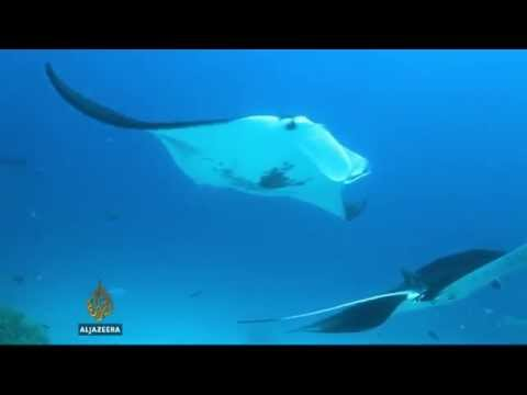 Largest-Ever Confiscation of Illegal Manta Ray Parts | WCS on Al Jazeera