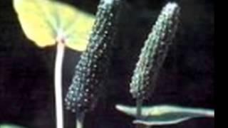 Hạt tiêu dài Ấn-Độ - tiêu lốt - Pippali: phòng chữa nhiều bệnh