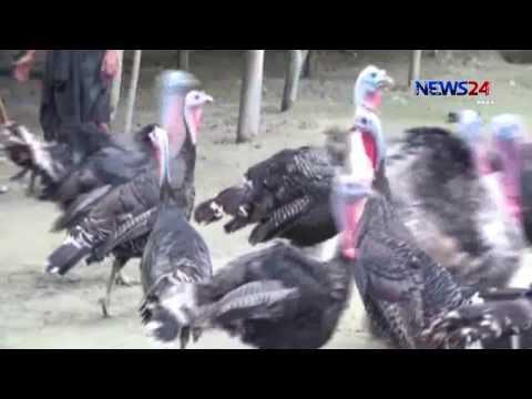Tarki on Tangail বিদেশি জাতের টার্কি পাখি পালন, নতুন সম্ভাবনার দ্বার on News24