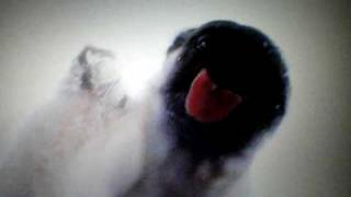 Pug Licking The Screen