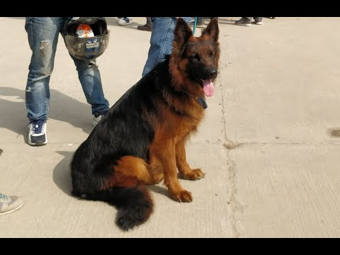 Rs 7 lakh priced German Shepherd-1st national/8th grand dog show 2018 Nepal