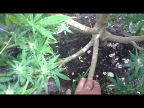 El'Jays Outdoor medicinal cannabis (sativa) plant