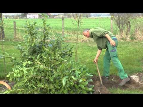 Baum Umpflanzen baum umpflanzen baumschule drahtkorb fr baum umpflanzen einzige
