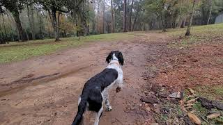 Brittany (Spaniel) free running and squirrel hunting in full stride