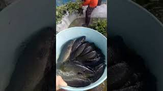 การเลี้ยงปลาหมอในบ่อซีเมนต์แบบบ้านๆสร้างรายได้ Ep.4