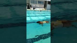 レオンベルガーナッシュ12歳の泳ぎ.