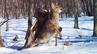 GOLDEN EAGLE ATTACKS AND CATCHES DEER thumbnail