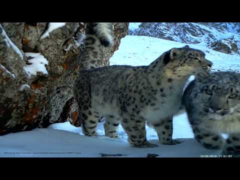 Captivating: A snow leopard and two cubs caught on camera in China's high mountains