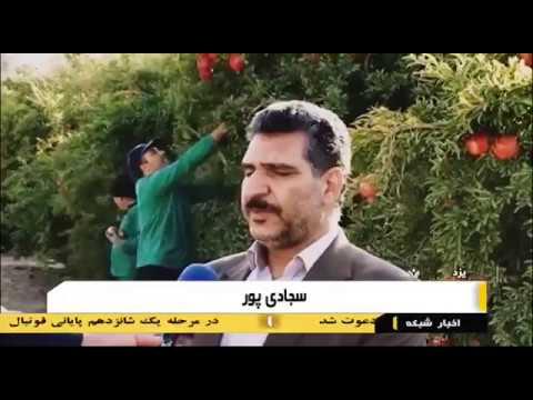 Iran Yazd province, Organic Pomegranate harvest برداشت انار استان يزد ايران
