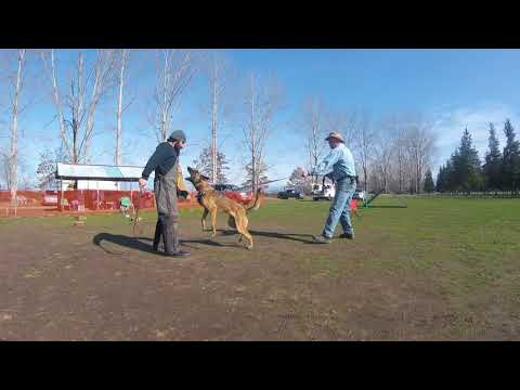 Protection guarding work from heeling ~ Video Sponsored by Prodogz.com Dog Equipment