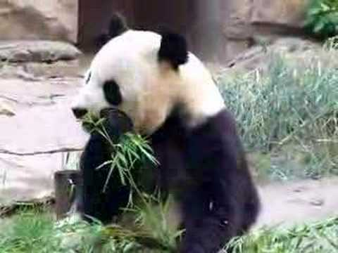 panda eating bamboo in beijing zoo china youtube
