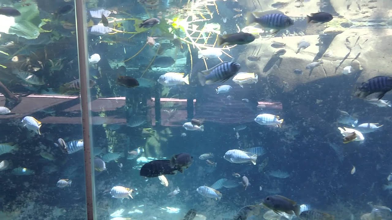 African Cichlids At San Diego Zoo Youtube