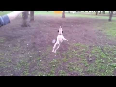 Jack Russel Terrier jumping for balloon